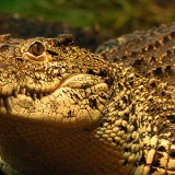 anm_crocodile_cuban_01